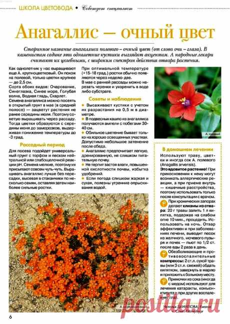 Анагаллис - очный цвет