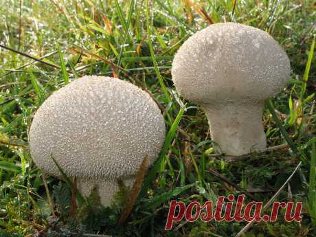 Дождевик, его пищевая ценность. Ложнодождевики - Индасад Гриб дождевик, его пищевая ценность. Как отличить гриб дождевик от других грибов и ложнодождевика. Правильное приготвление и заготовка.