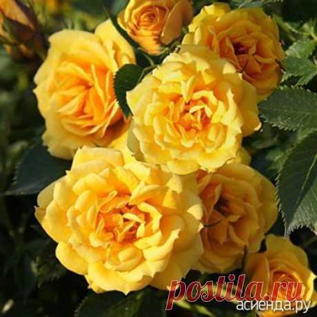 Плетитистые розы. Евгений Писарев. часть3.: Группа Цветы и флористика