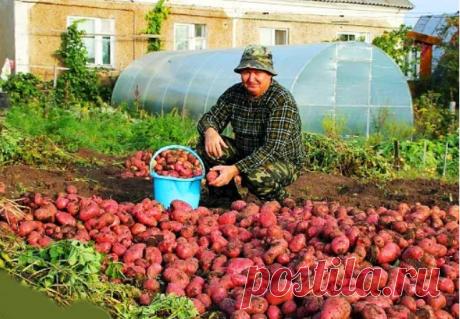 Мой сосед сажает картошку под пленкой и в год собирает два урожая. Делюсь схемой выращивания.
