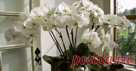 Правила по уходу за орхидеей, благодаря которым она будет буйно цвести круглый год Поделиться ссылкой: Людям нравятся орхидеи, и многие не откажутся иметь в доме...