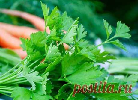 Чем подкормить петрушку для роста: лучшие удобрения, если не всходит или плохо растет, какие удобрения и как вносить
