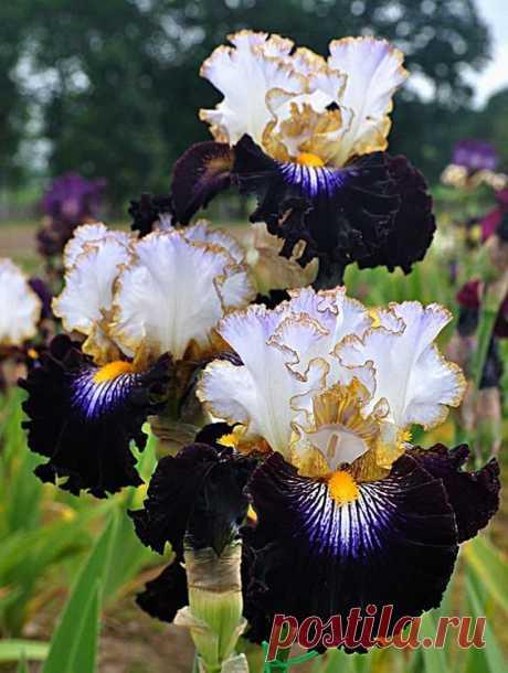 Tall Bearded Iris Society      Pinterest • Всемирный каталог идей