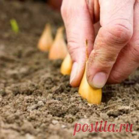 Как я готовлю лук-севок к посадке - МирТесен