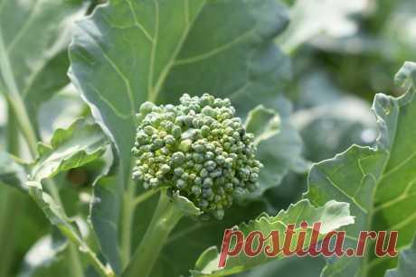 Как выращивать цветную капусту семенами в открытом грунте Как выращивать цветную капусту семенами в открытом грунте, как за ней ухаживать, как ее поливать, подкармливать. рызлить и с бирать урожай