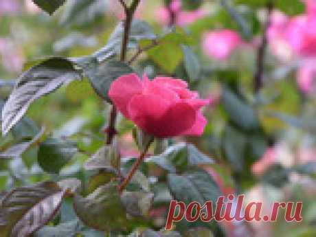 Слепые побеги на розах Случается, что внешне здоровый куст розы не цветёт или даёт единичные бутоны. В 70% этого явления виноваты слепые побеги. Рассмотрим вопросы: как выглядят слепые побеги, причины их появления, какие действия предпринять, чтобы роза начала цвести.