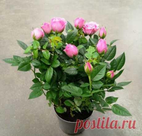 Комнатная роза: правильный уход, посадка и размножение | Тысяча и одна идея