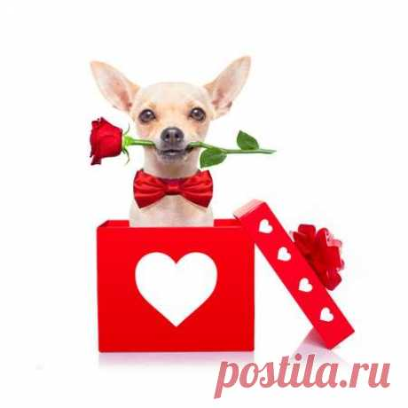 chihuahua dog in love for happy valentines day with petals and rose flower in  mouth , isaolated on white background 123RF - Des millions de photos, vecteurs, vidéos et  fichiers musicaux créatifs pour votre inspiration et vos projets.