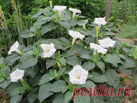 10 растений на даче которые могут серьезно навредить   6 соток