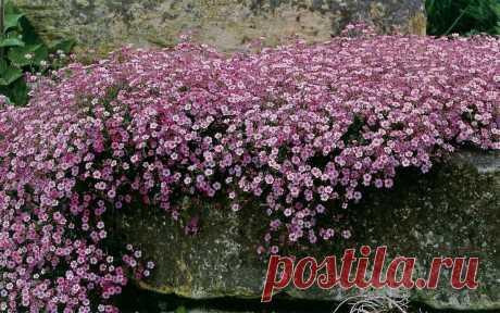 Цветы которые я высаживала прошлый год и не знала, что они будут цвести и без ухода как сумасшедшие | САД | Яндекс Дзен
