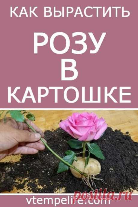 Как вырастить розу в картошке. Действенный метод для пышного куста в будущем! | В темпі життя
