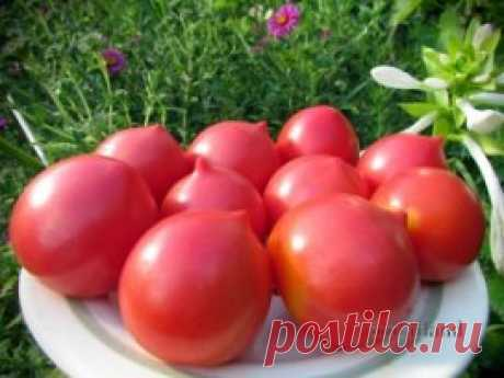 The EARLIEST GRADES of TOMATOES. EARLY GRADES of TOMATOES FOR the OPEN GROUND. Keep not to lose!