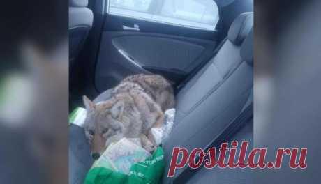 Канадец сбил на дороге пса и устроил в своей машине, чтобы защитить от лесных хищников. Позднее мужчина узнал, что пригрел настоящего койота