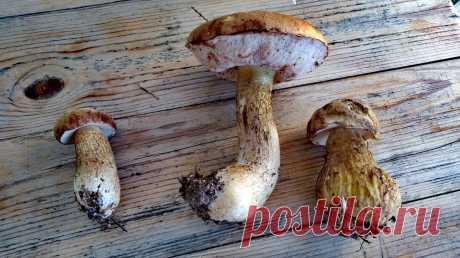 Как не спутать желчный гриб с боровиком. | Посад | Яндекс Дзен