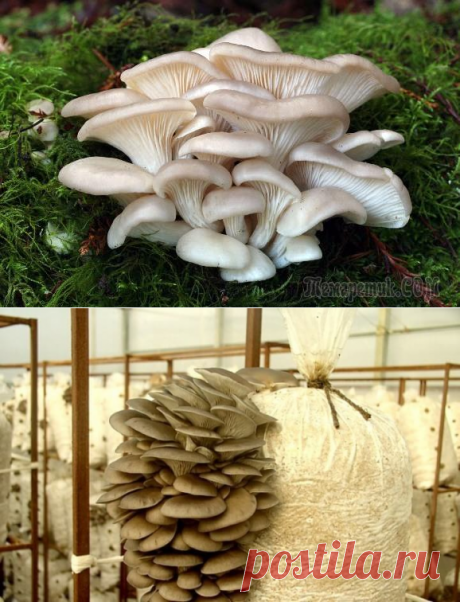 Cultivation of mushrooms of an oyster mushroom for beginners