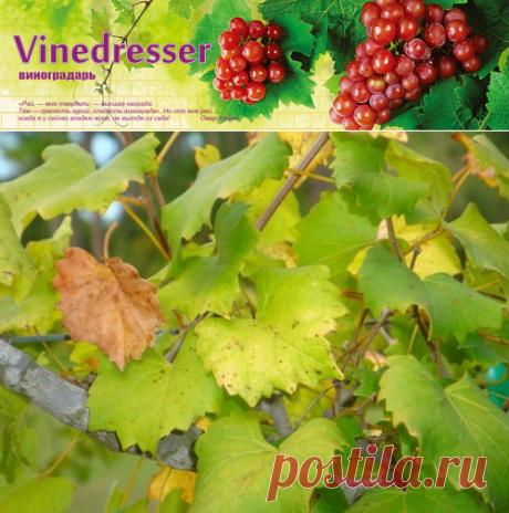 Недостаток азота на винограде. Причины и симптомы голодания.