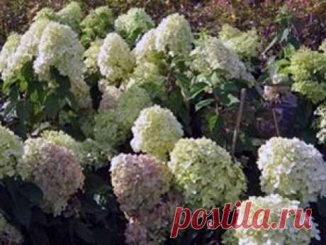 Уход за гортензией метельчатой: полив, размножение, обрезка и формировка, подкормка метельчатой гортензии