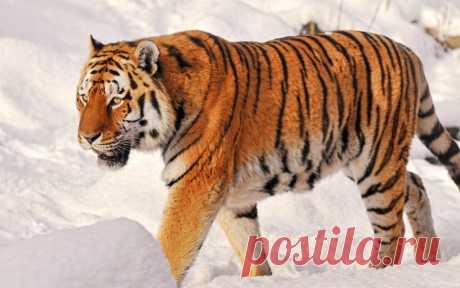Картинки про амурского тигра (35 фото) ⭐ Забавник