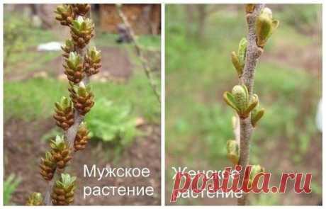 Моя любимая, дача в Instagram: «Чтобы отличить мужское растение облепихи от женского, необходимо обратить внимание на почки: ⠀ Почки у мужских растений в 3–5 раз крупнее…»