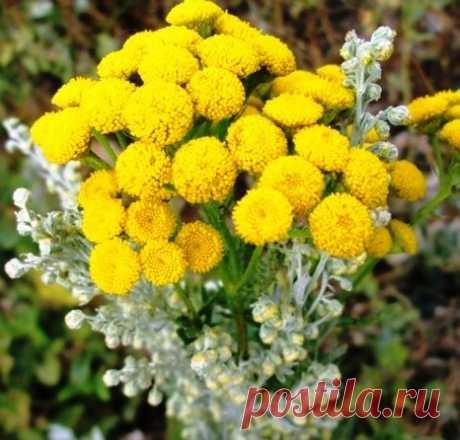 Сакральные растения для здоровья - полынь и пижма