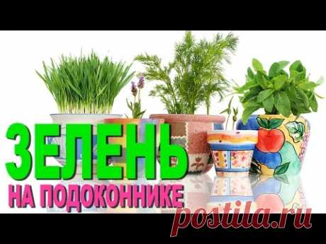 Выращивание зелени на подоконнике. Домашний розмарин.