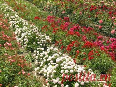 Почвопокровные розы Длинные дуговидные или стелящиеся побеги, с крупными одиночными или обильными кистевидными соцветиями. Растения мощные и очень выносливые, с непрерывным периодом цветения, прекрасно вписывающиеся в различные стилевые направления ландшафтного дизайна. Все это можно сказать о ПОЧВОПОКРОВНЫХ розах. Стойкие к болезням и вредителям они по праву занимают место в наших садах и парках. В этой группе есть …