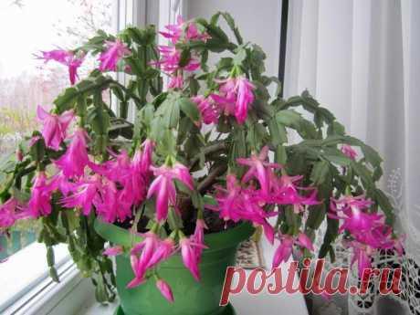Criamos shlyumbergeru en las condiciones de casa: los consejos de los floricultores expertos