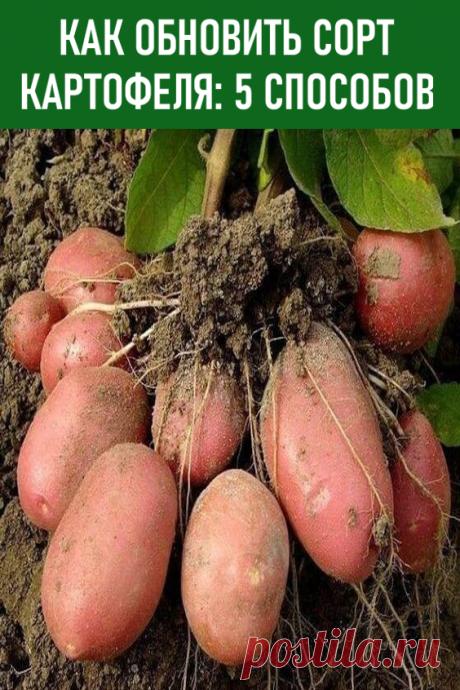 Как обновить сорт картофеля: 5 способов. Существует пять проверенных способов, каждый из которых вы можете применить на своем дачном участке или огороде. #дача #огород #картошка #картофель #какобновитьсорткартофеля