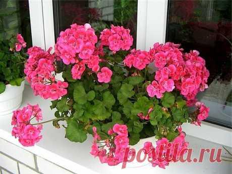 Нашатырный спирт — лучшее удобрение для роста герани   Цветы в квартире и на даче – от Радзевской Виктории   Яндекс Дзен