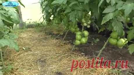 Не пропустите- пора ломать листья на томатах!