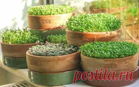 Как вырастить микрозелень в домашних условиях | календарь уютного дома | Яндекс Дзен