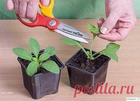 Кaк вырacтить пeтунию из ceмян