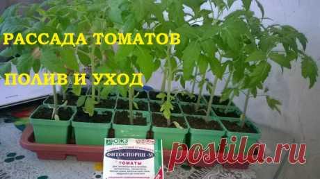 Рассада томатов полив и уход! Как защитить томаты от пересыхания и переувлажнения. — 6 соток
