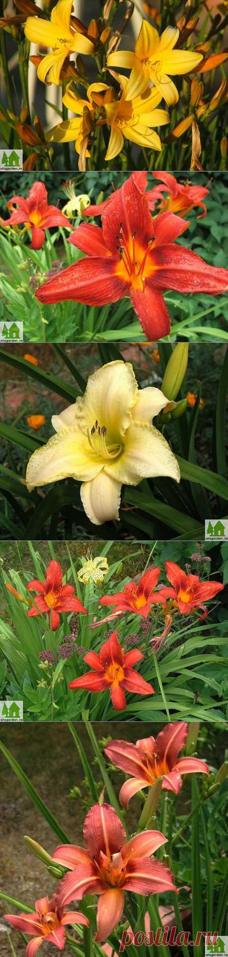Лилейники фото | Дачная жизнь - сад, огород, дача