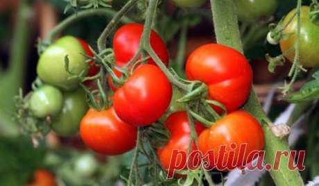 Чем подкормить помидоры во время плодоношения? Каждый огородник если не знает, то хотя бы догадывается, что без дополнительных усилий получить хороший урожай крупных и вкусных помидоров вряд ли получится. Хотя томаты и относятся к группе овощей со...