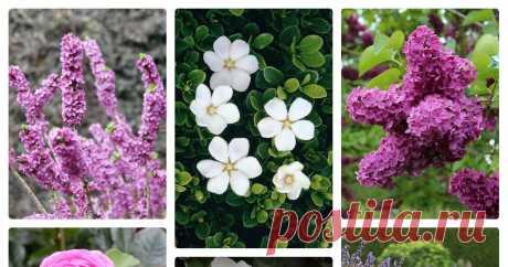 Ароматный сад: что посадить, чтобы наслаждаться вкусным дачным воздухом Автор — Русские Дачи
