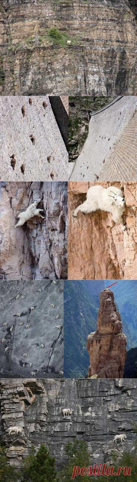 Козлы скалолазы - Ибексы