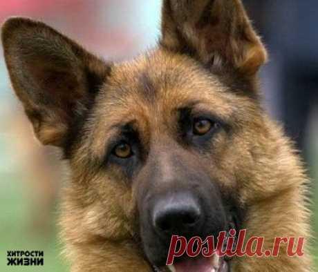 ТОП-10 самых умных пород собак.