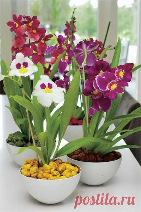 Орхидея мильтония. Животные и растения. Добавила Елена Семёнова — VilingStore.net