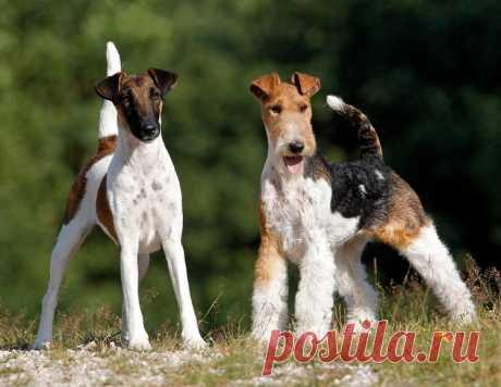 ༺🌸༻. Фокстерьер: описание породы собак с фото и видео Обзор породы гладкошерстный и жесткошерстный фокстерьер с фото и видео. Происхождение, характер, особенности содержания, здоровье, цена и многое другое