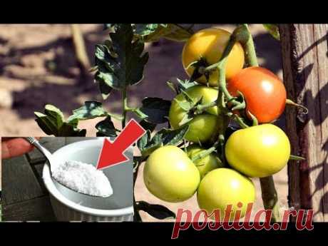 Опрыскайте в августе этой аптечной подкормкой томаты и они будут плодоносить до холодов!