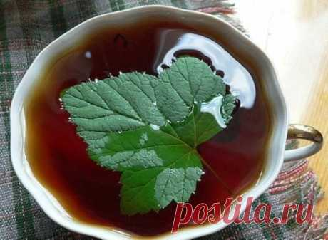 Листочки чёрной смородины- кладезь витаминов и лечебных свойств