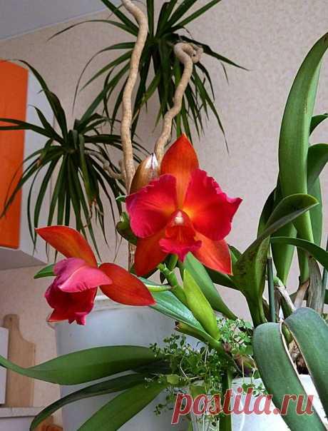Орхидея - фото конкурс Комнатные цветы