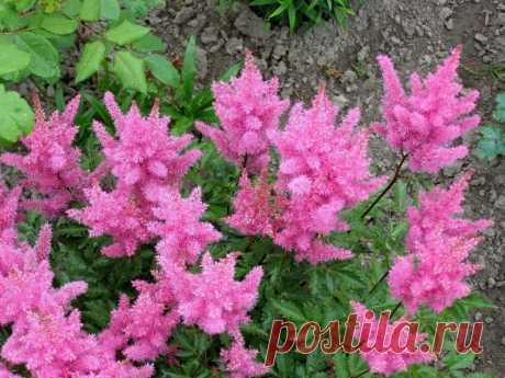 Растения с разноцветными свечеобразными соцветиями для контраста на клумбах