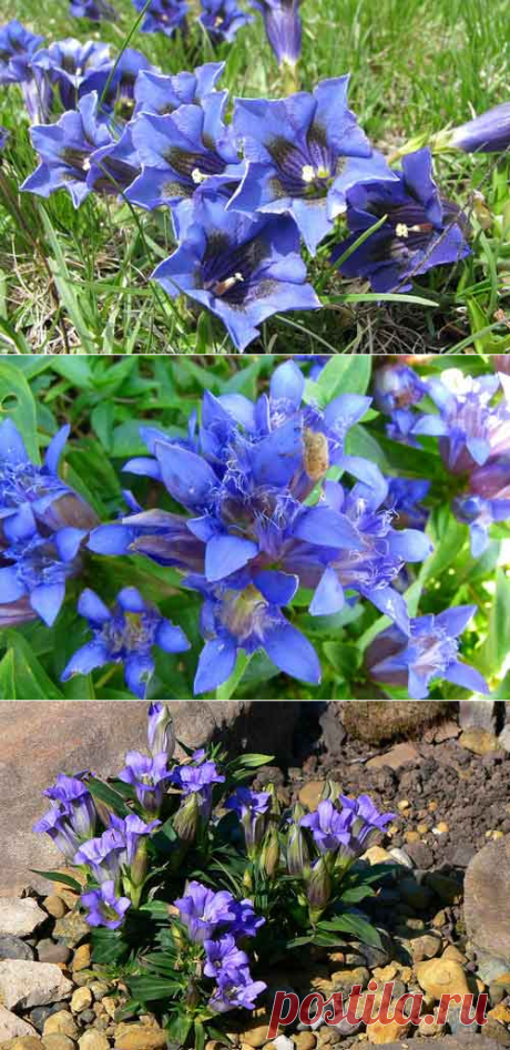 Gentian: landing and leaving, types and grades, photo.