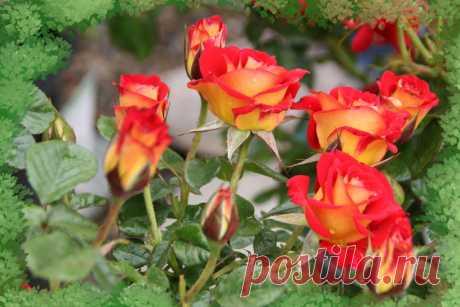 Гибридные королевские розы Готовые наборы для выращивания Роза – истинная королева цветов, имеющая великолепный внешний вид, тонкий, изумительный аромат и богатую гамму цветовых оттенков. Букеты роз принято дарить при романтических свиданиях, на дни рождения, по случаю различных праздников и торжественных мероприятий. Это обожаемые женщинами цветы, которые многие хотели бы растить у себя дома. меню на 8 марта