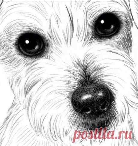 Рисуем собаку карандашом: джек рассел терьер