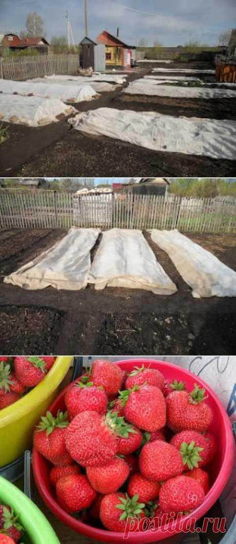 Вкусный Огород: Как укрывать клубнику весной