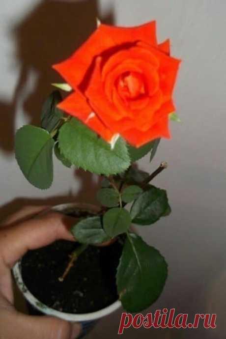 Полезный совет, как укоренить розу из букета