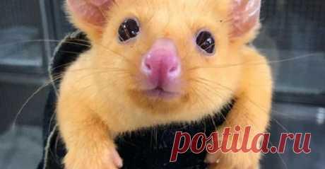 К австралийским ветеринарам привезли существо, которого в природе, просто не существует - Самое невероятное и интересное - медиаплатформа МирТесен